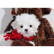 Affordable Maltese puppies...