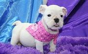 cute English Bulldog Puppies Foe Adoption - 13 Weeks Old