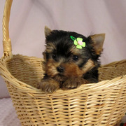 SUPER Cute AKC REGISTER TEACUP YORKIE PUPPIES AVAILABLE FOR X-Mass